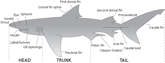 Shark external anatomy - Shark Sider