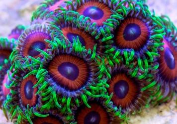Zoanthids - source: Saltwater smarts