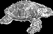 Sketch. Source: seaworld.org