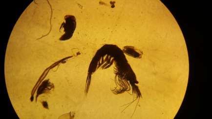 Looking at copepods through a microscope