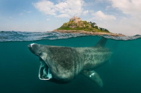 Basking shark - source: WWF