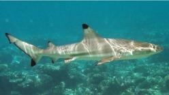 Blacktip reef shark - source: SharkSider