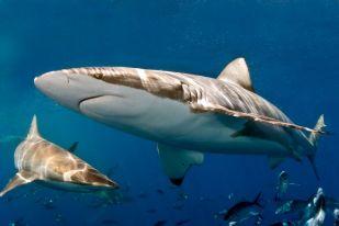 Bronze whaler shark - source: Malcolm Nobbs