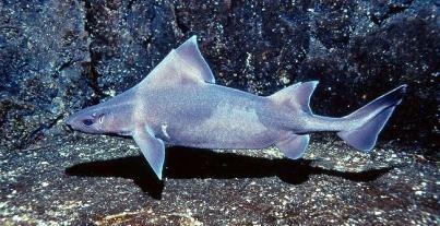 Caribbean rough shark - source: Alchetron