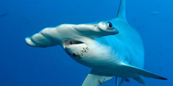 Hammerhead shark - source: BBC