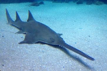 Japanese sawshark - source: Fishes of Australia