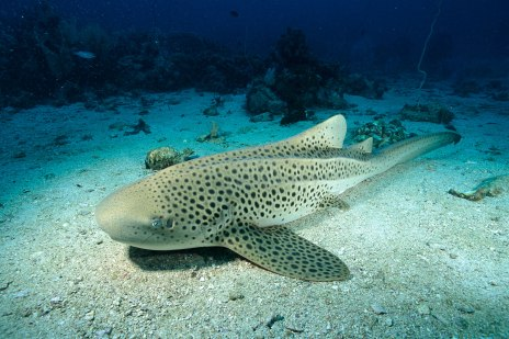 Leopard shark - source: National Geographic