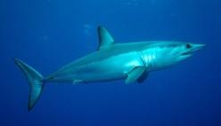 Shortfin mako shark - source: Project AWARE
