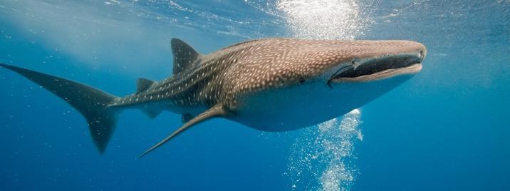 Whale shark - source: WWF