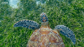 Green Turtle, seagrass meadow - BBC Blue Planet 2