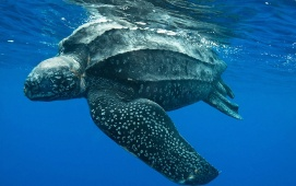 Swimming leatherback - Animal picture society