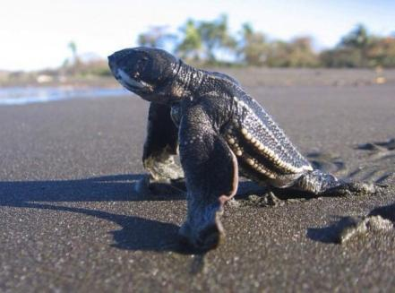 Leatherback hatchling - Frontier Official