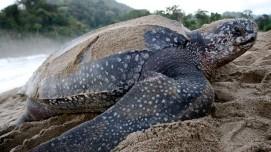 Leatherback closeup - MACO Caribbean featured