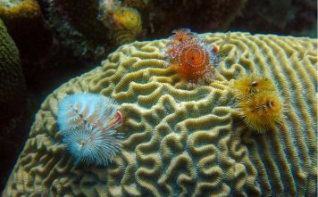 Christmas tree worms on a brain coral