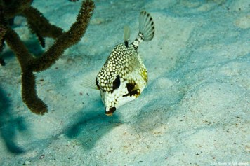 Spotted boxfish - Source: Jim Wheeler