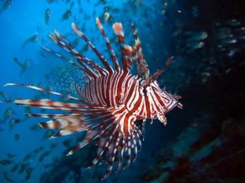 Lion fish - Source: Bonaire Best