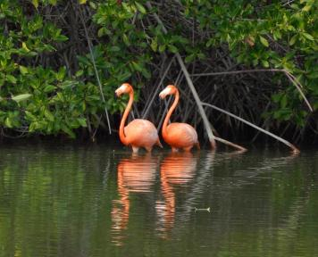 Two flamengos in front of some mangrove stilt roots - source: Carnival Cruises