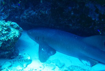 Nurse shark - source: Feel Bonaire