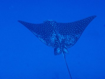 Spotted eagle ray - source: Feel Bonaire