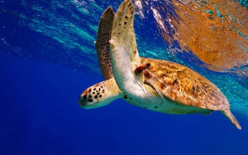 Turtle - source: Feel Bonaire